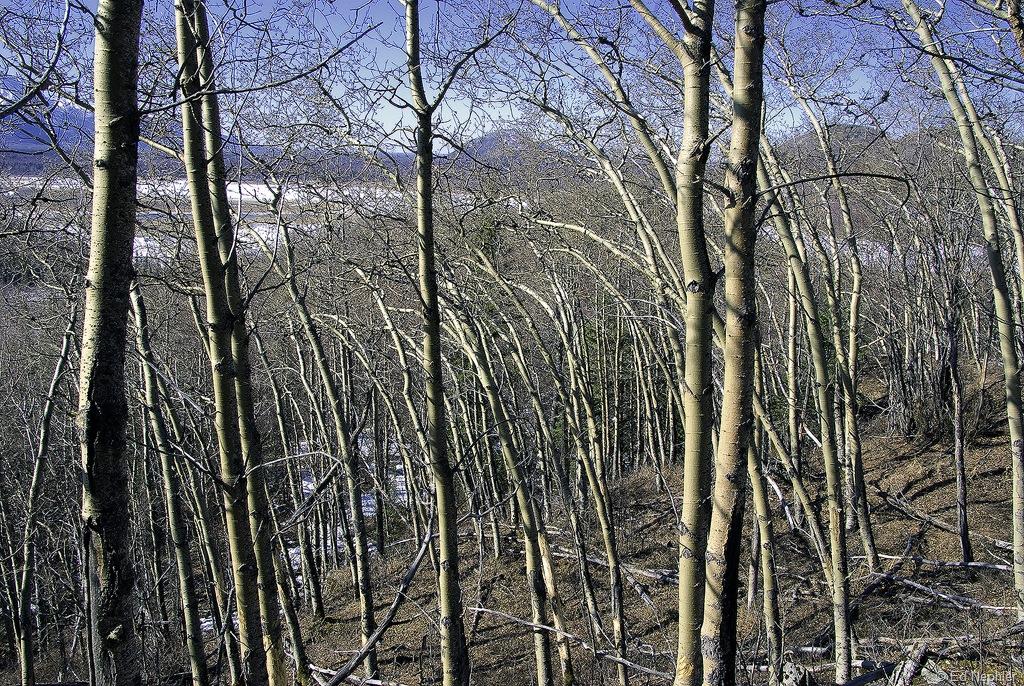 Wind bent trees 040910.01.1024