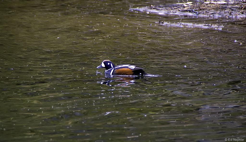 Harlequin Duck 061810.01.1024