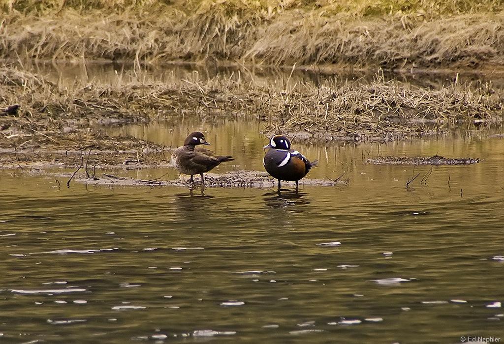 Harlequin Duck 061810.02.1024