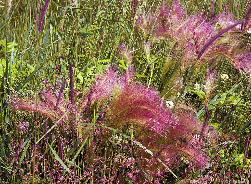 Squirreltail Grass 070810.01.1024