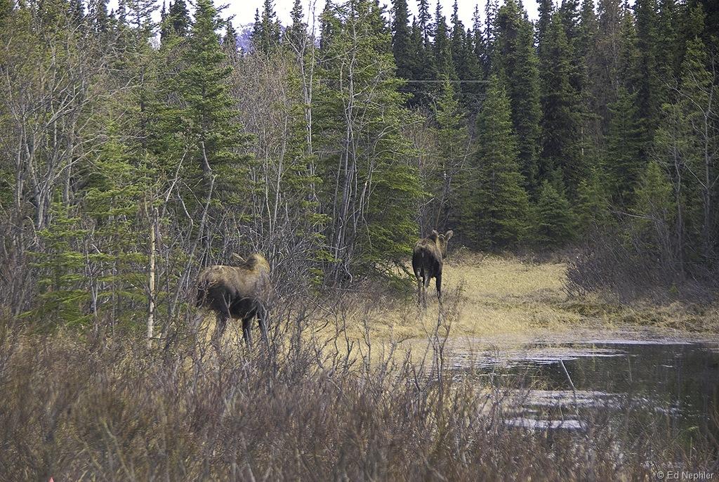 Moose 052010.01.1024