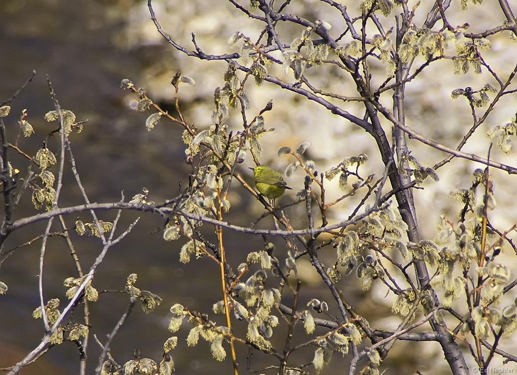 Yellow Warbler 052010.01.1024