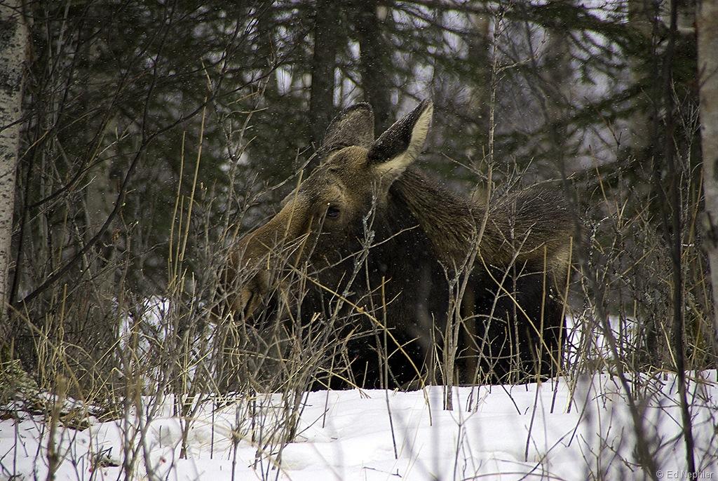 Moose 030610.03.1024