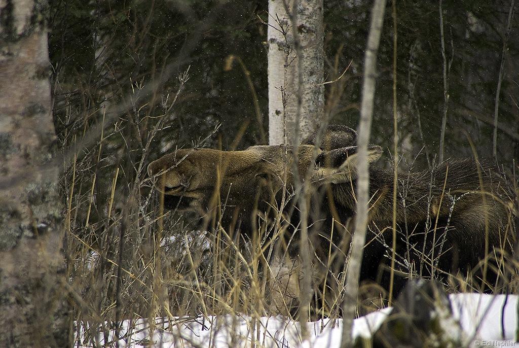 Moose 030610.04.1024