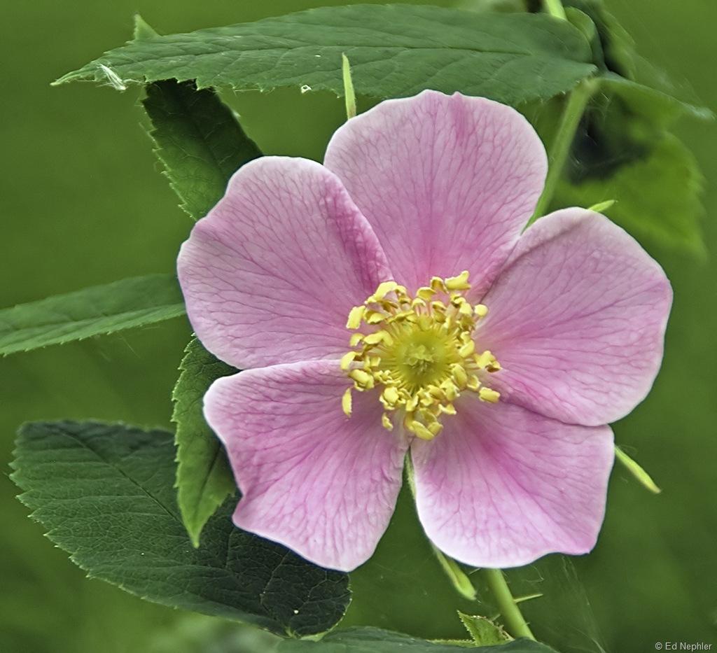 Wild Rose 061910.01.1024