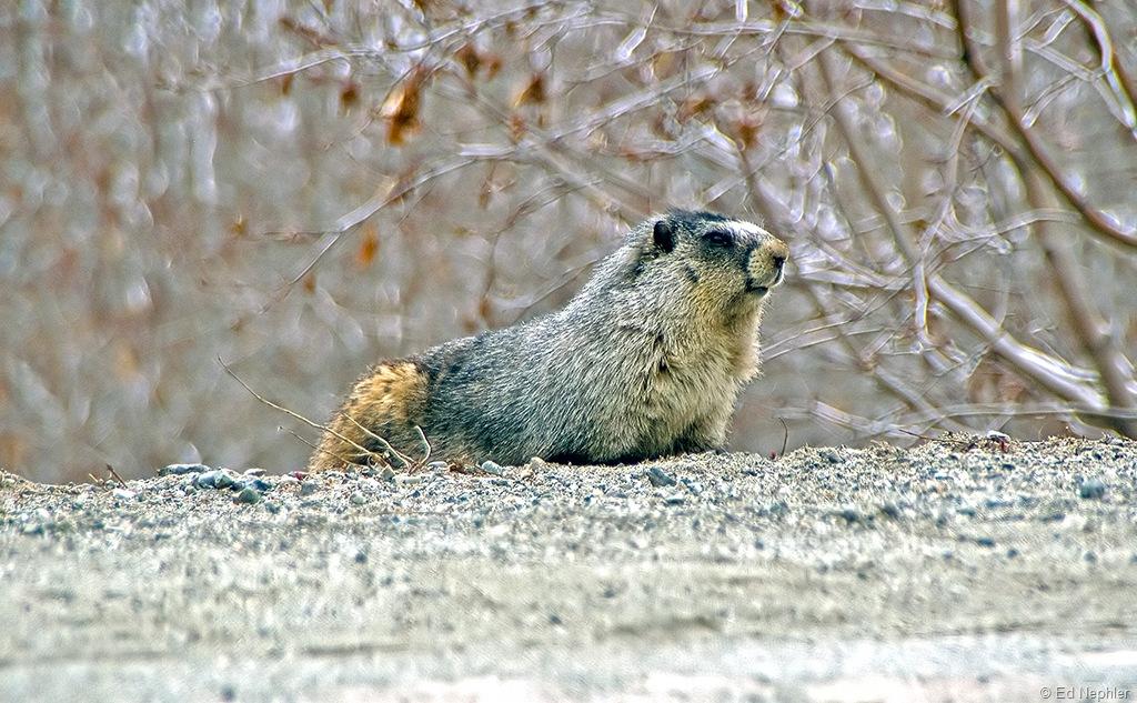 Alpine Marmot 050610.01.1024