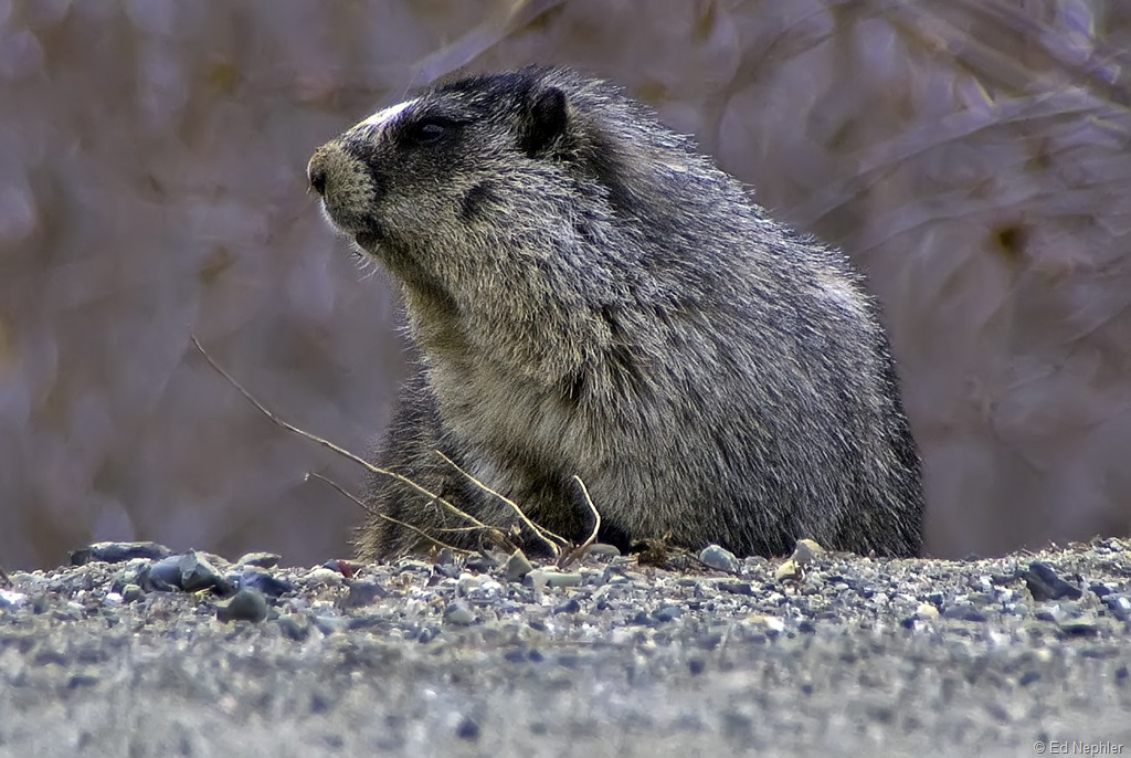 Alpine Marmot 050610.04.1024