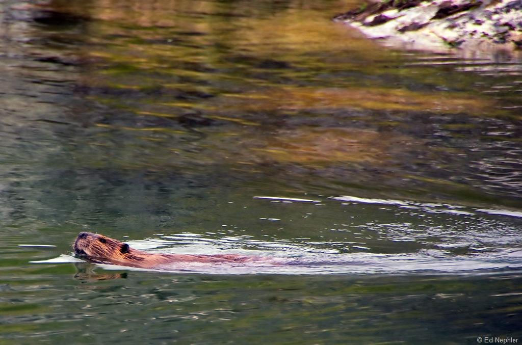 Beaver 071410.01.1024