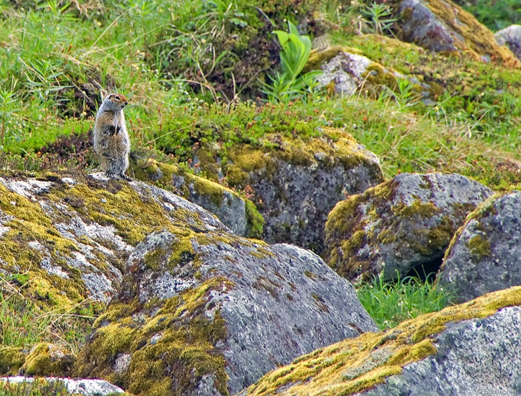 ground squirrel 071410.01.1024