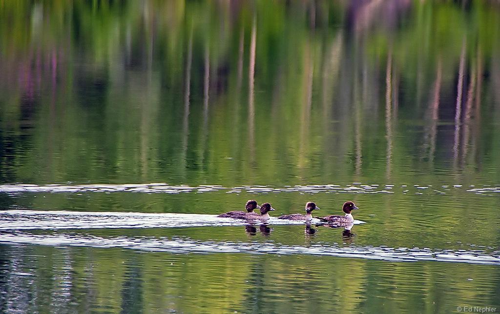 Ducks 072010.01.1024