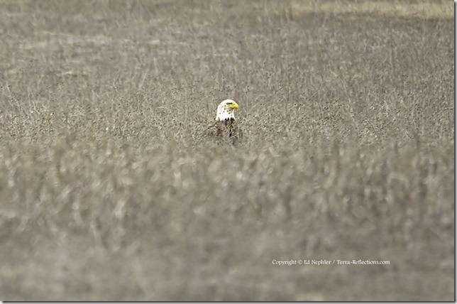 Bald Eagle 041713.04.1024