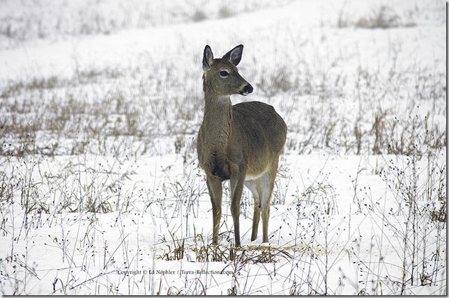Deer 033113.15.1024