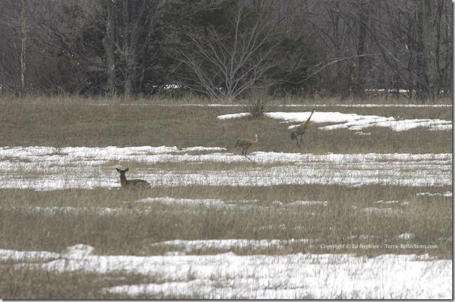 Deer and Sandhill Cranes 040613.02.1024