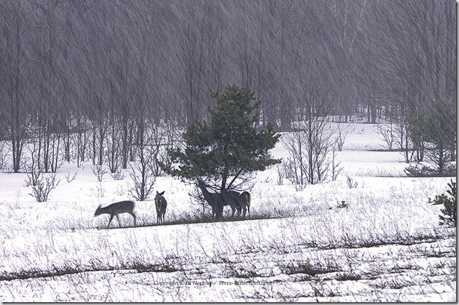 Deer and Snow 040713.01.1024