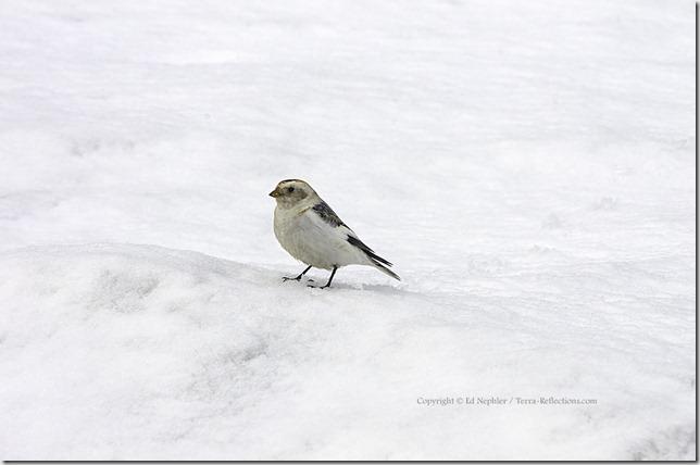 Snow Bunting 040413.01.1024