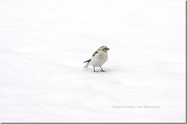 Snow Bunting 040413.02.1024