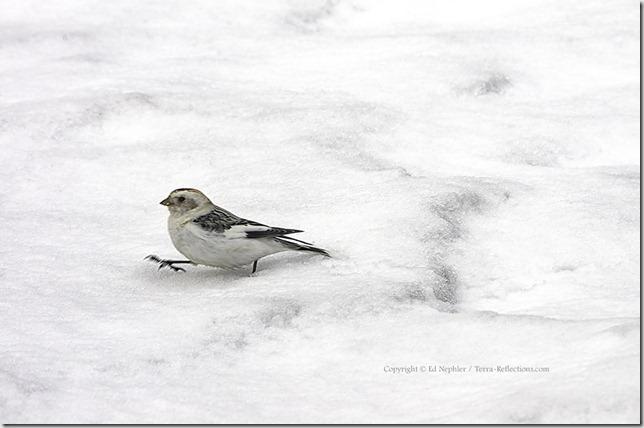 Snow Bunting 040413.03.1024