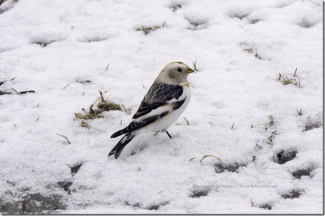 Snow Bunting 040413.04.1024