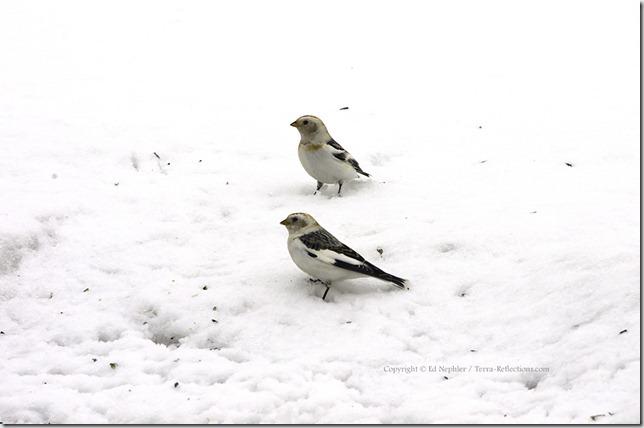 Snow Bunting 040413.05.1024
