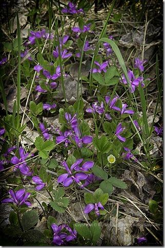 Fringed Milkwort Gaywings - Polygala paucifolia 052713.02.1024
