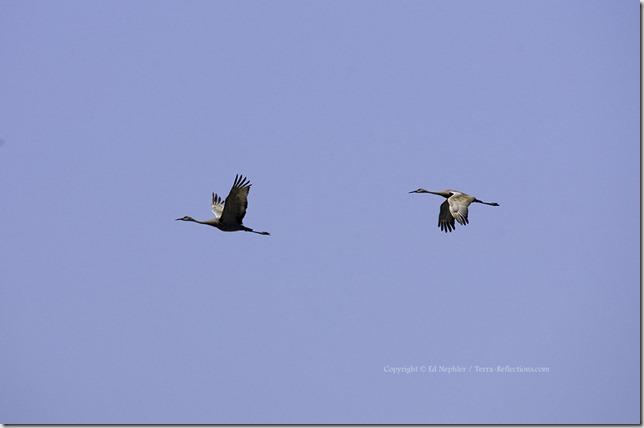 Sandhill Cranes 052513.01.1024