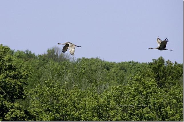 Sandhill Cranes 052513.02.1024
