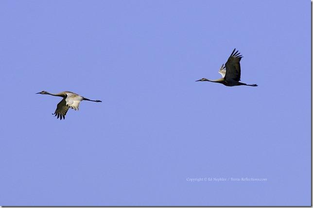 Sandhill Cranes 052513.03.1024