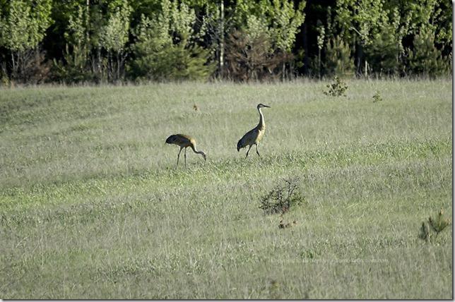 Sandhill Cranes 052613.01.1024