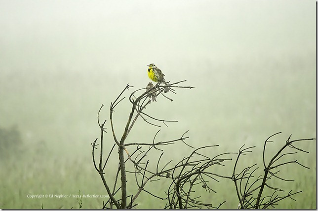 Eastern Meadowlark in Fog 062213.01.1024