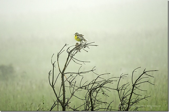 Eastern Meadowlark in Fog 062213.02.1024