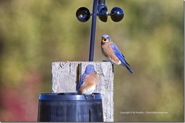 Eastern Bluebird 092913.01.1024