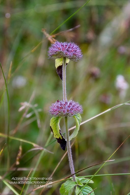 Wild Mint - Mentha arvensis 081614.01.1024
