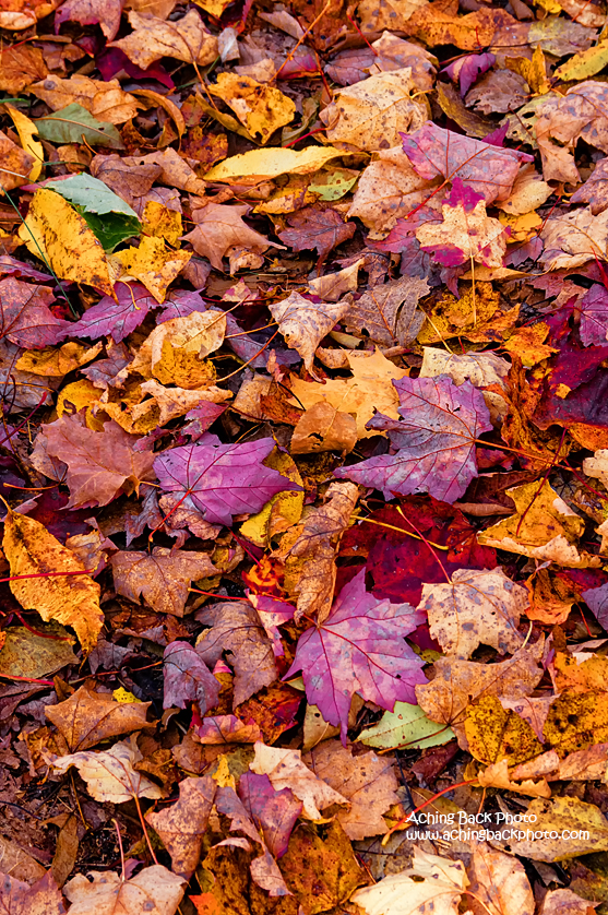 Fallen Autumn Leaves 102015.01.1260